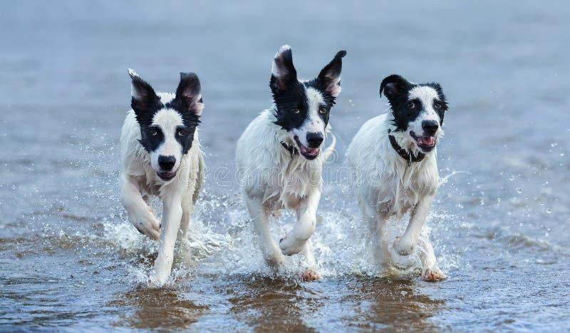 Tres perritos de funcionamiento mestizo en el agua fotos de archivo libres de regalías