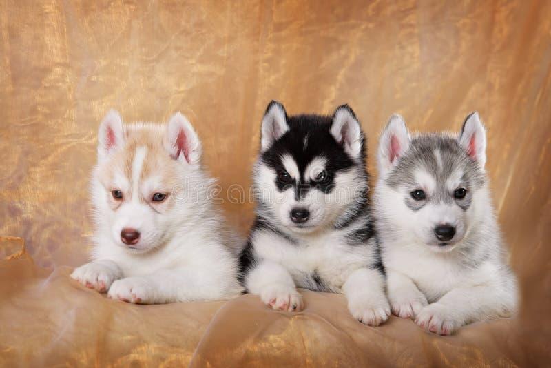 Tres perritos del husky siberiano imagen de archivo