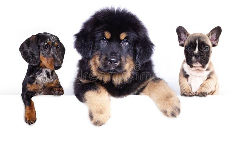 Tres perritos en un fondo blanco fotos de archivo libres de regalías
