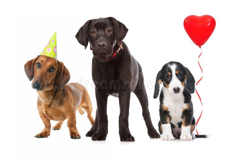 Tres perritos que celebran un cumpleaños fotos de archivo libres de regalías