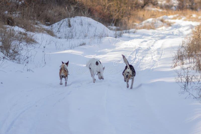 Tres perros Basenji se fueron y dos perros mezclados de la raza que se perseguían en una carretera nacional fotos de archivo libres de regalías