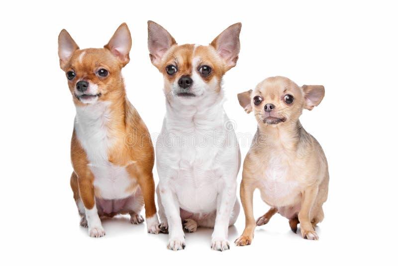 Tres perros de la chihuahua fotografía de archivo libre de regalías