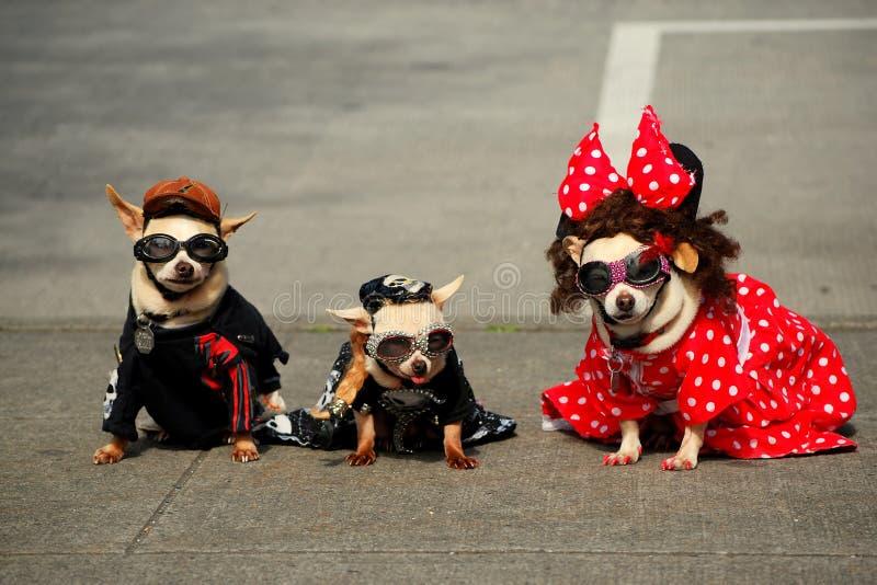 Tres perros de moda (chihuahuas) imágenes de archivo libres de regalías