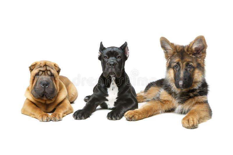 Tres perros de perrito hermosos foto de archivo