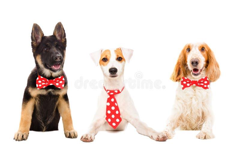 Tres perros divertidos en lazos rojos fotografía de archivo libre de regalías
