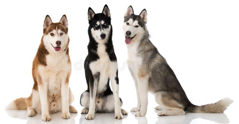 Tres perros fornidos sibirian que se sientan en el fondo blanco foto de archivo
