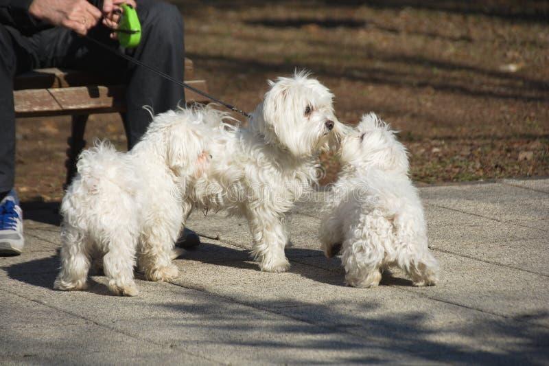 Tres perros malteses que juegan en el parque foto de archivo libre de regalías