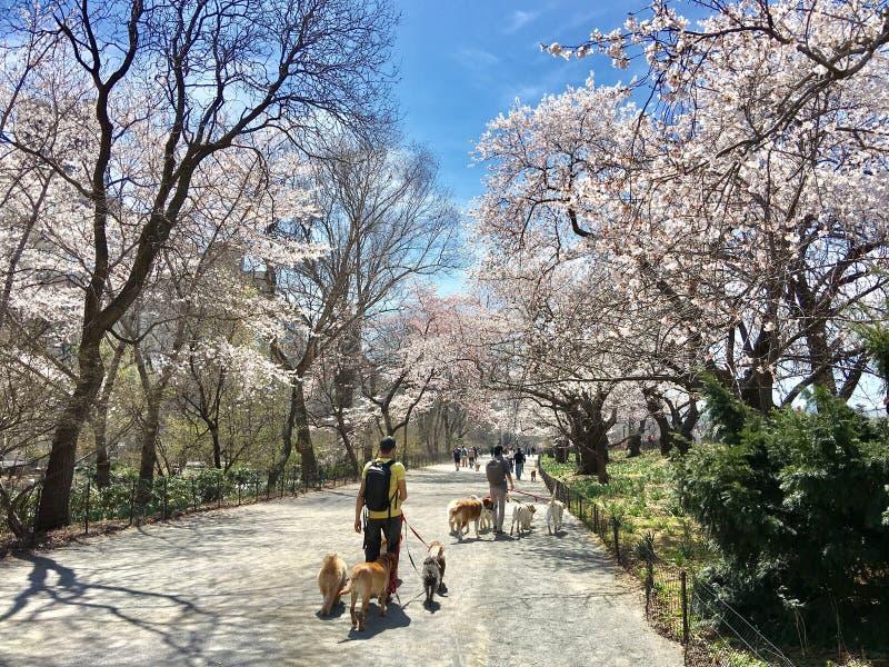 Tres perros para dos personas un sakuura de abril de los perros de la persona tres en árbol del Central Park de Nueva York imagenes de archivo