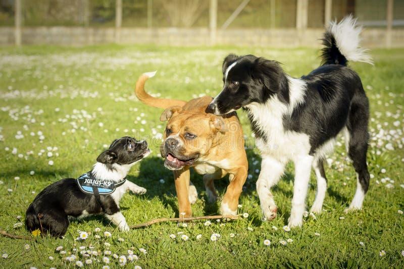 Tres perros, una raza de la mezcla una, boxeador y un border collie, jugando en un prado foto de archivo libre de regalías