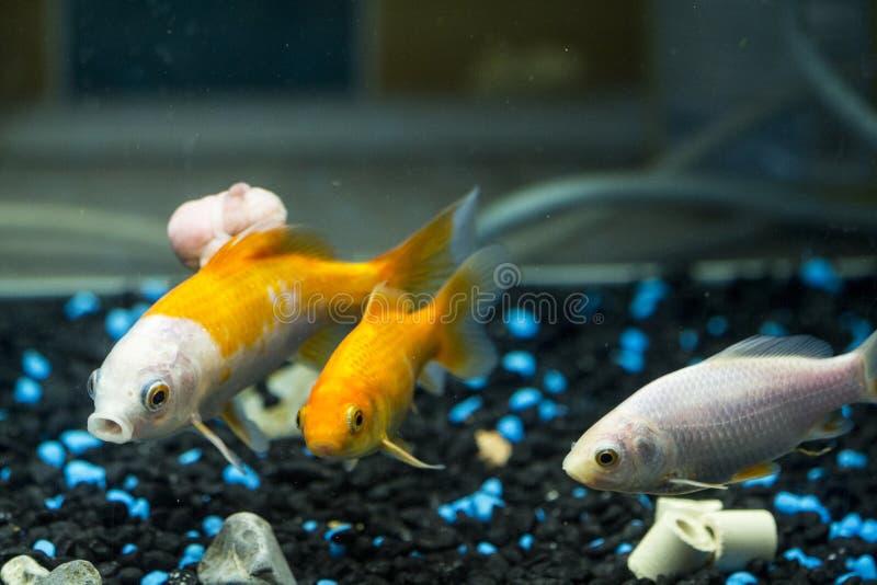 Tres pescados en el acuario Uno de ellos tiene un tumor foto de archivo