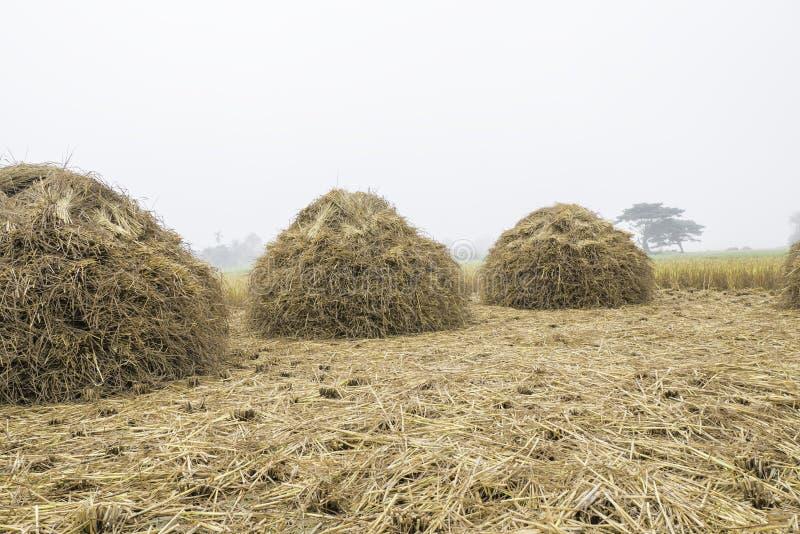 Tres pilas de la paja del arroz brillan para arriba y esperando cosechando el grano del arroz imágenes de archivo libres de regalías