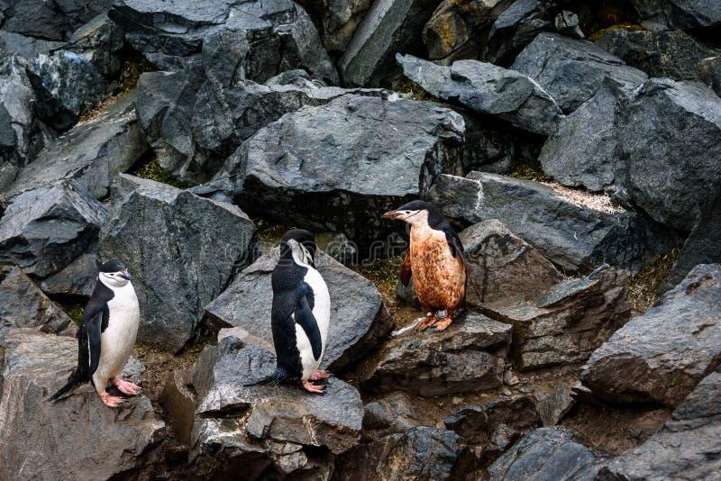 Tres pingüinos de Chinstrap, uno fangoso y dos limpios, saltando abajo de la carretera del pingüino en un rockslide, isla de la m fotos de archivo