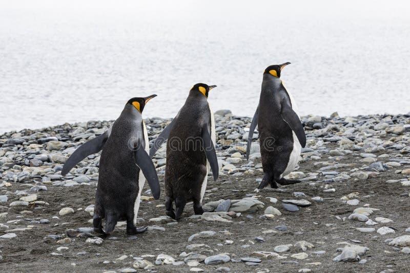 Tres pingüinos de rey corren en fila sobre el Pebble Beach en la bahía de Fortuna, Georgia del sur, la Antártida imagen de archivo libre de regalías