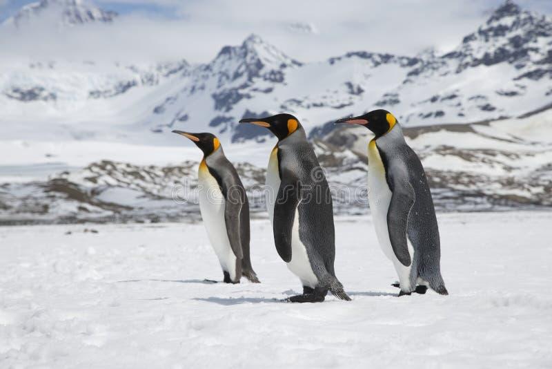 Tres pingüinos de rey en la nieve en la isla de Georgia del sur fotografía de archivo libre de regalías