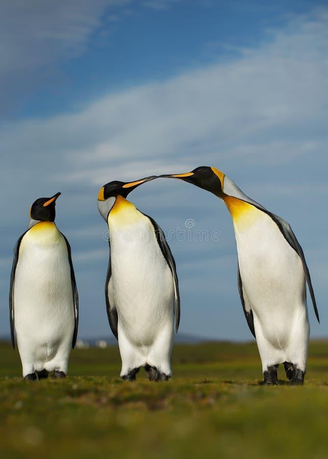 Tres pingüinos de rey que exhiben comportamiento agresivo imagenes de archivo