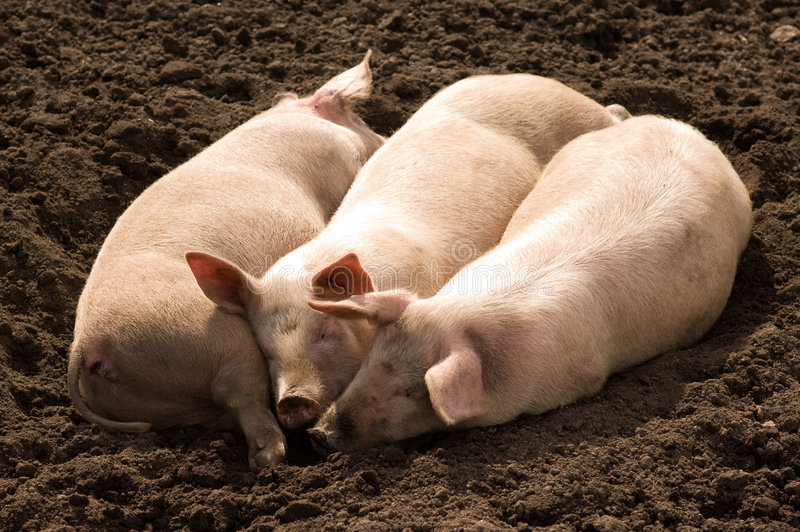 Tres poco Piggies imagen de archivo libre de regalías