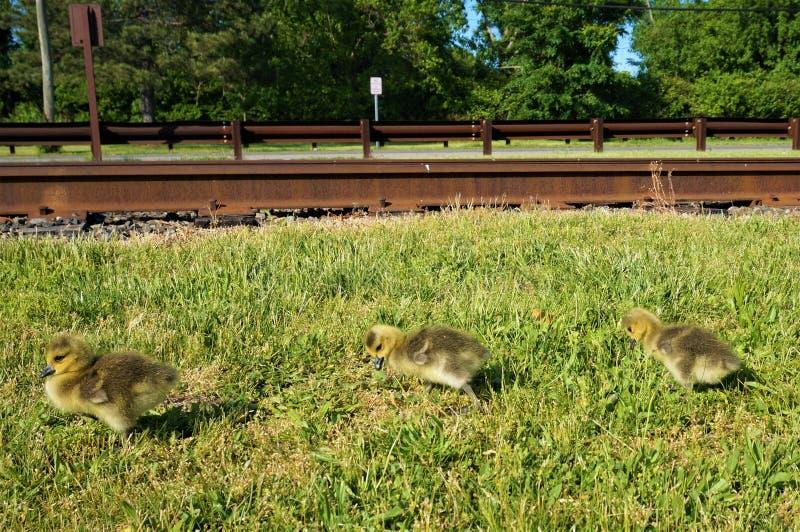 Tres polluelos canadienses amarillos del ganso que caminan en la hierba a lo largo de las pistas de ferrocarril con los árboles v fotos de archivo libres de regalías