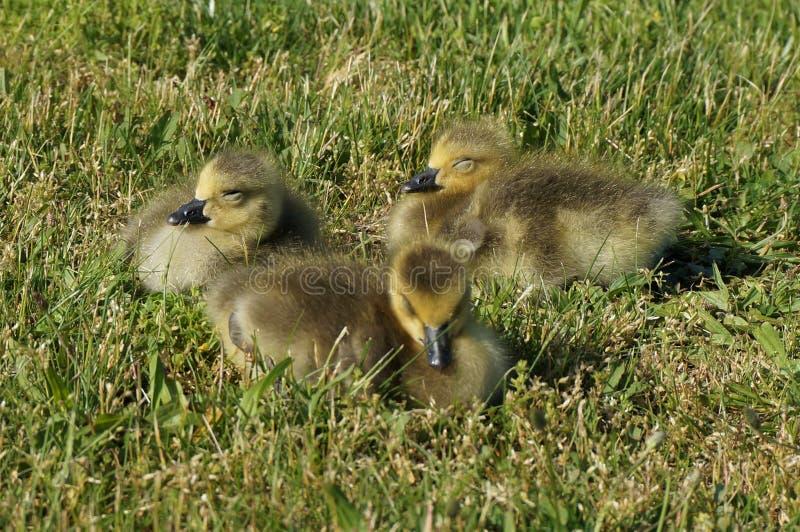 Tres polluelos canadienses del ganso con los ojos cerrados se sientan en la hierba y toman el sol imagen de archivo