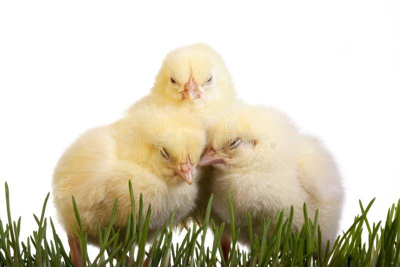 Tres polluelos el dormir imágenes de archivo libres de regalías