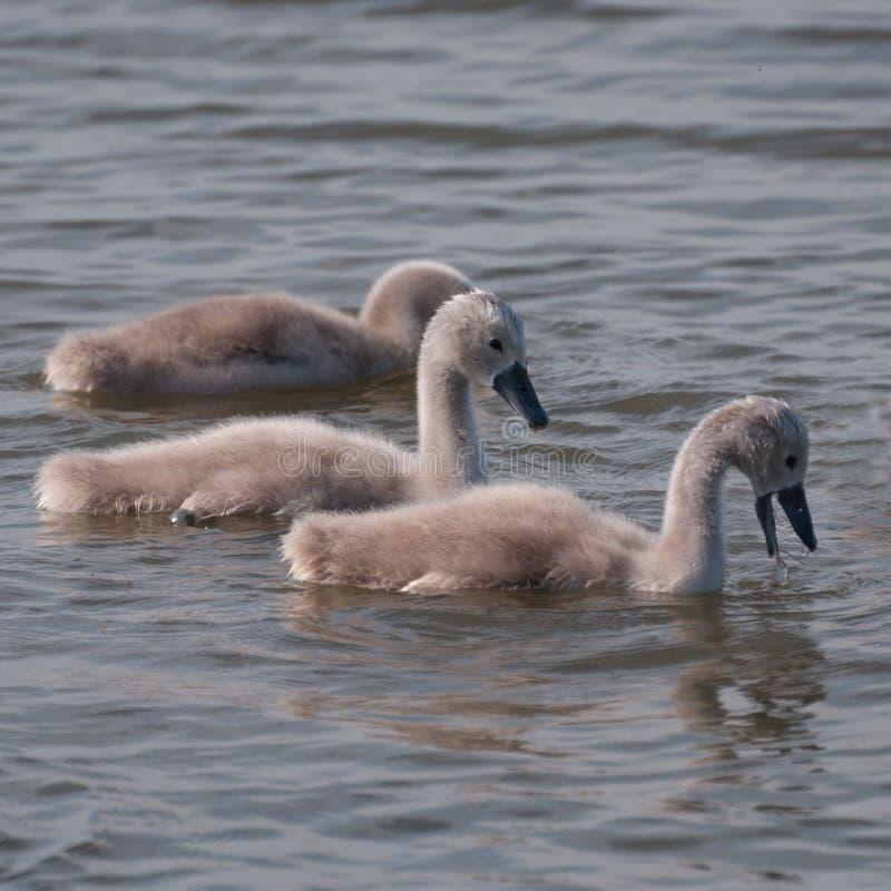 Tres polluelos mullidos del cisne en un lago imagenes de archivo