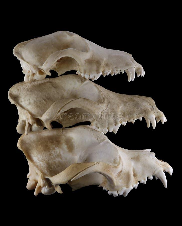 Tres razas (Foxterrier, Doberman y St Bernard) persiguen la evolución de los cráneos en la pirámide de la pila aislada imagen de archivo