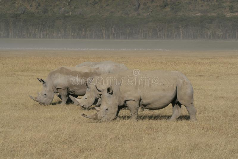 Tres rinoceronte blanco africano, rinoceronte cuadrado-labiado, lago Nakuru, Kenia fotografía de archivo