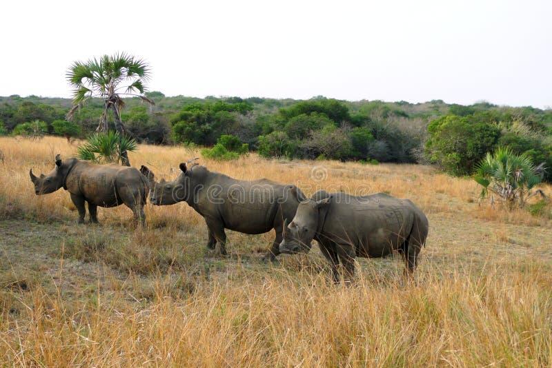 Tres rinocerontes blancos en la reserva privada del juego de Phinda, Suráfrica fotos de archivo libres de regalías