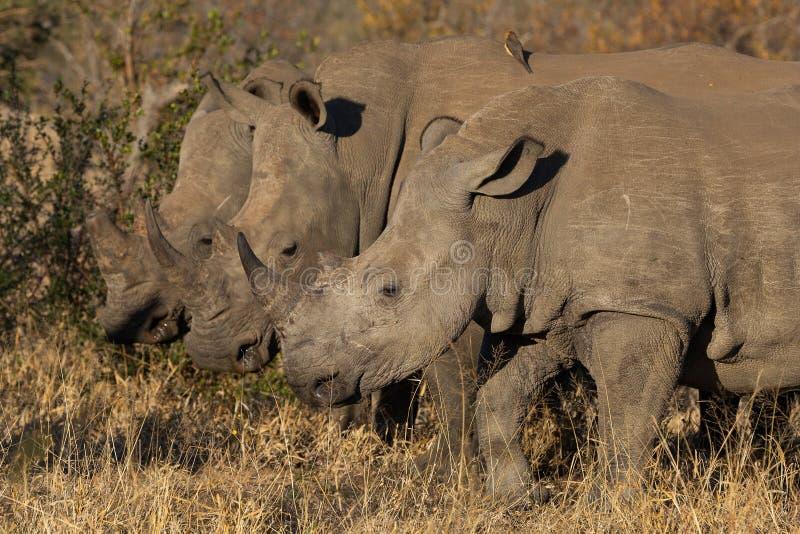 Tres rinocerontes blancos junto fotografía de archivo libre de regalías