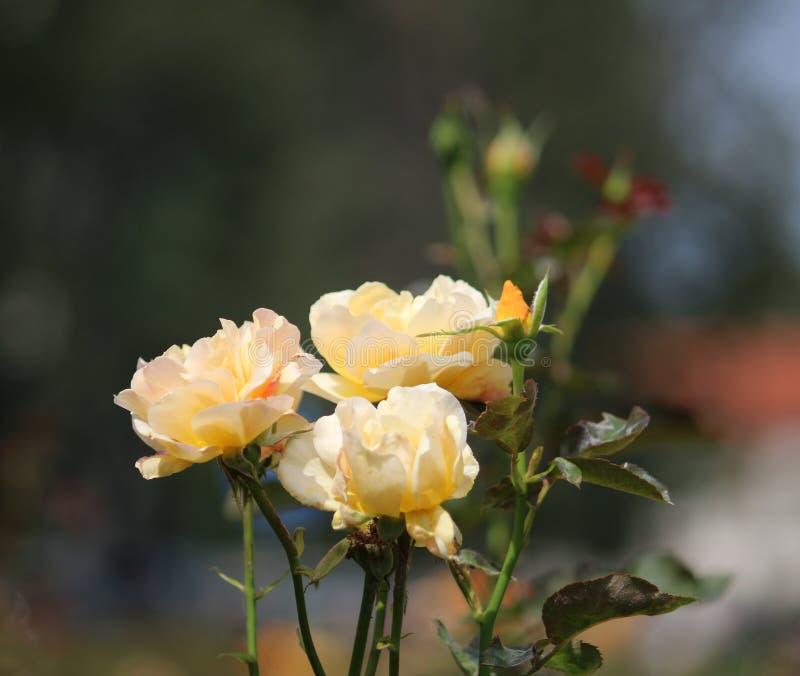 Tres rosas amarillas en parque fotografía de archivo libre de regalías