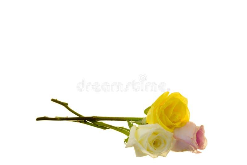 Tres rosas del Largo-tronco foto de archivo