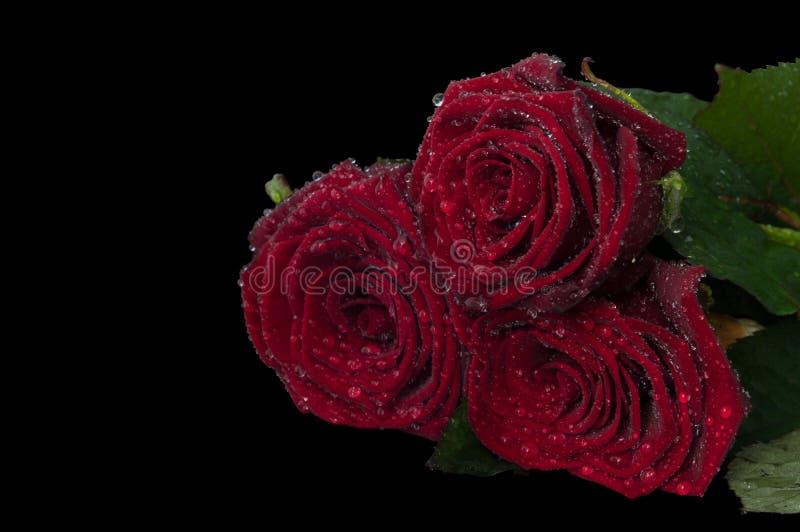 Tres rosas rojas con las porciones de descensos de rocío en un fondo negro fotos de archivo libres de regalías