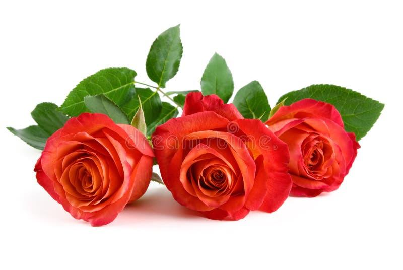Tres rosas rojas hermosas en blanco imagen de archivo