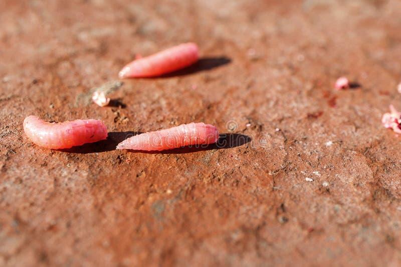 Tres rosas rojas se arrastran en un ladrillo rojo, una boca de la pesca en un día de verano afuera fotografía de archivo libre de regalías