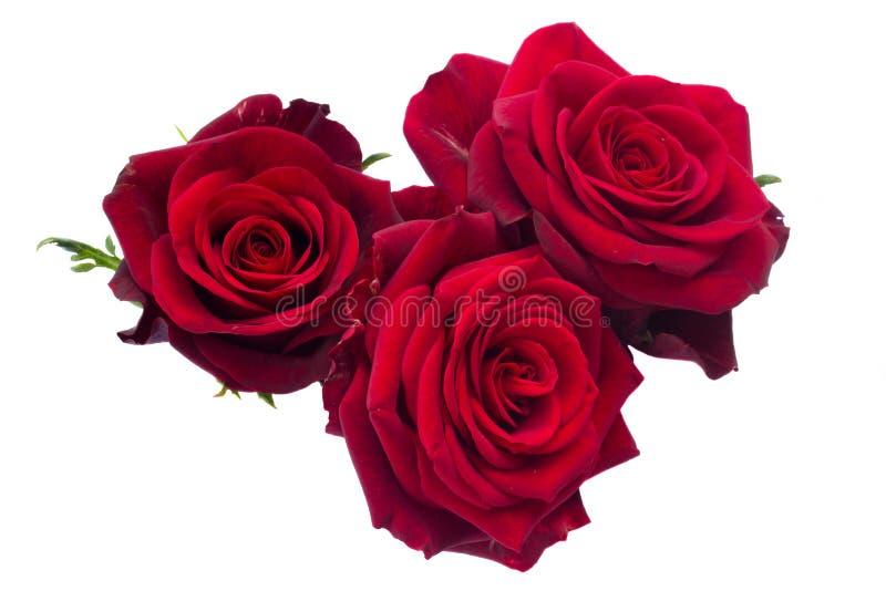 Tres rosas rojo oscuro foto de archivo libre de regalías