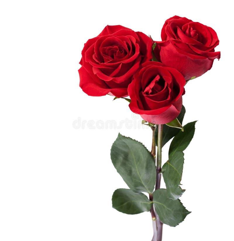 Tres rosas rojo oscuro fotos de archivo