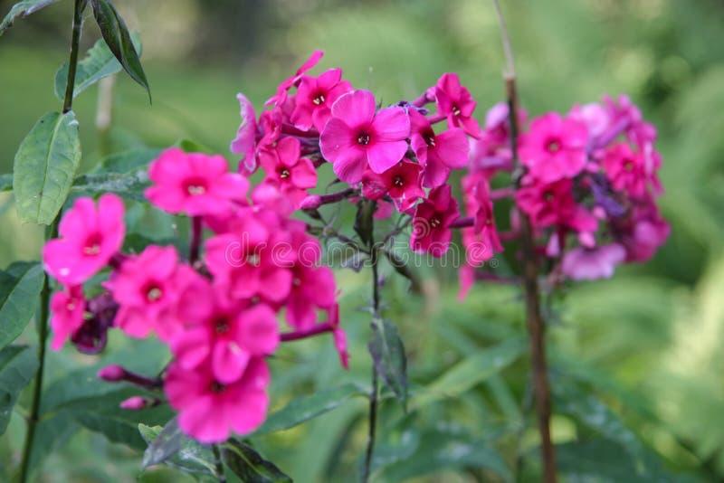 Tres tallos y muchas pequeñas flores del color fucsia fotografía de archivo libre de regalías