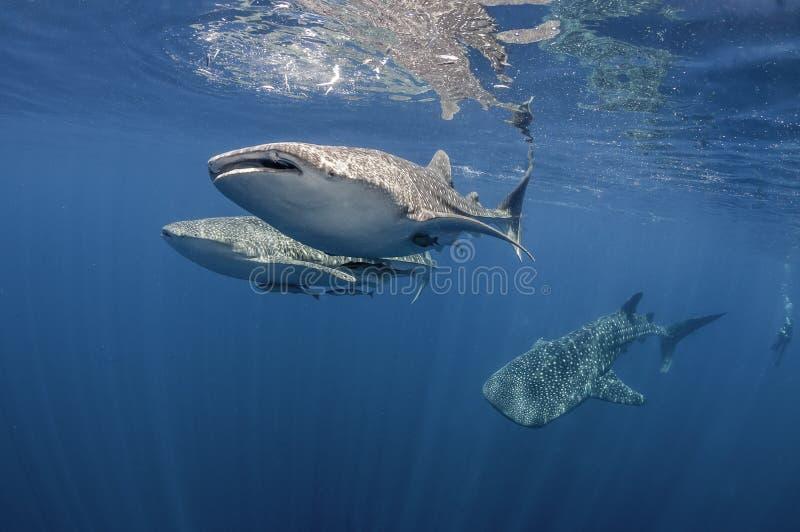 Tres tiburones de ballena imagen de archivo libre de regalías