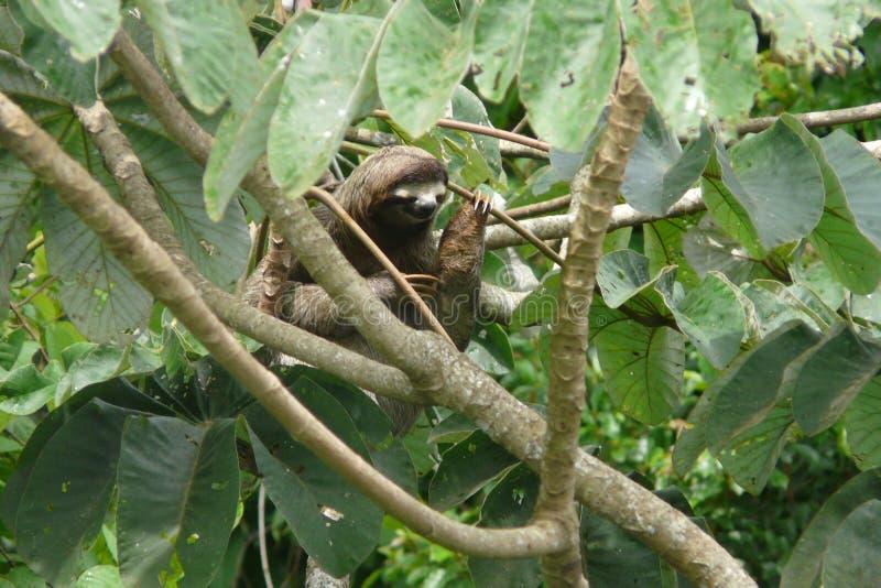 Tres tocaron con la punta del pie la pereza que descansaba sobre una rama cerca de la casa de campo de la torre del toldo, Panamá foto de archivo libre de regalías