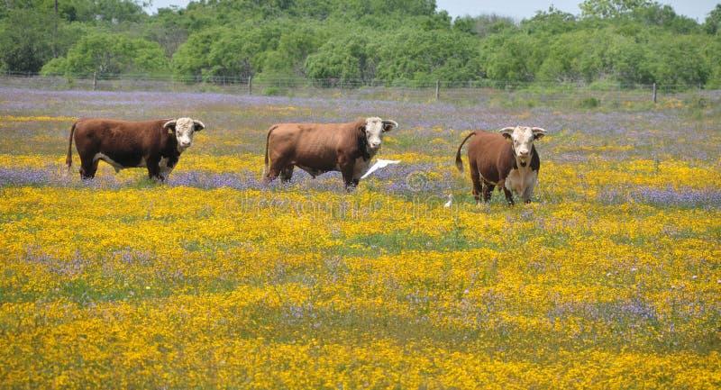 Tres toros en un campo de flores imágenes de archivo libres de regalías