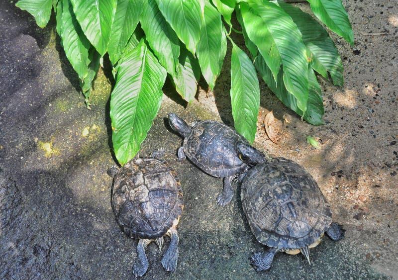 Tres tortugas foto de archivo libre de regalías