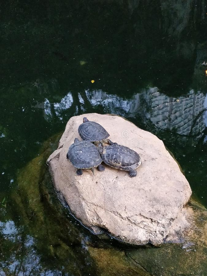 Tres tortugas del agua en una roca en una charca fotos de archivo libres de regalías