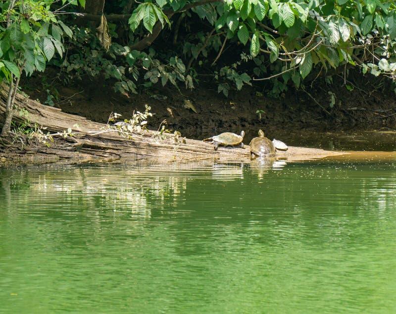 Tres tortugas que descansan sobre un registro fotos de archivo