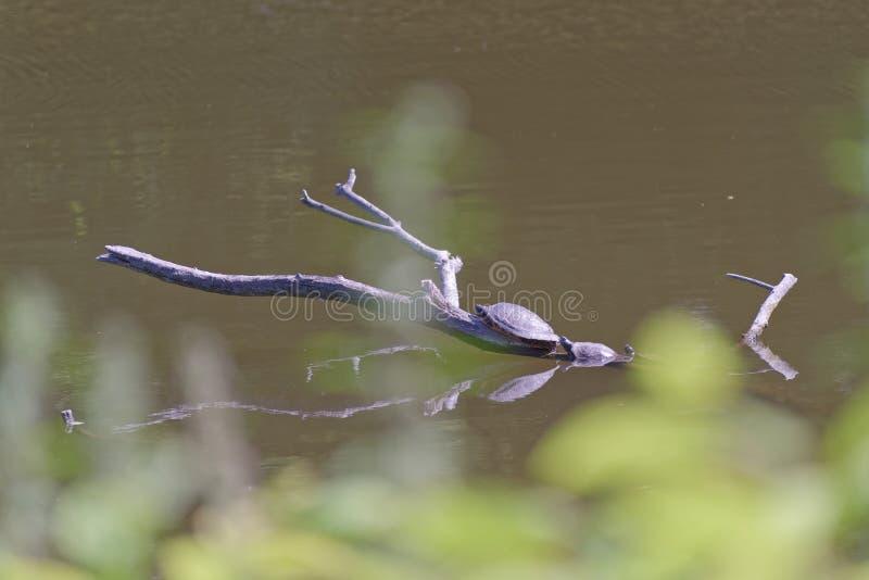 Tres tortugas que toman el sol en una rama de árbol en agua de un lago fotos de archivo libres de regalías