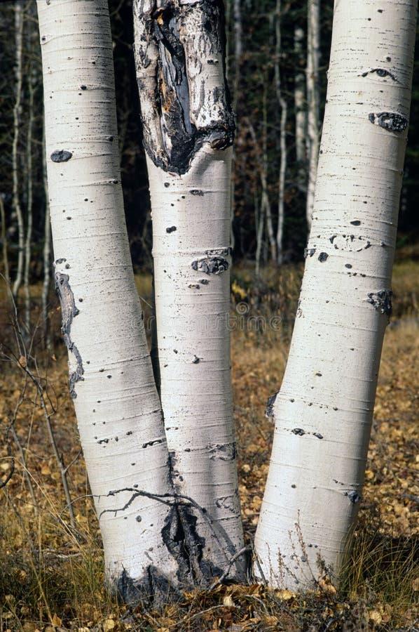 Tres-tronco Aspen fotografía de archivo libre de regalías