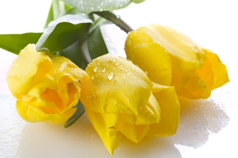Tres tulipanes amarillos en blanco imágenes de archivo libres de regalías