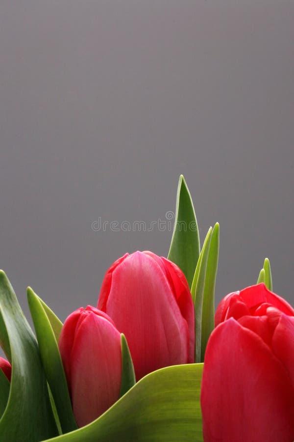 Tres tulipanes con el espacio de la copia fotos de archivo libres de regalías