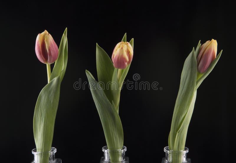 Tres tulipanes en los floreros de cristal imagen de archivo libre de regalías