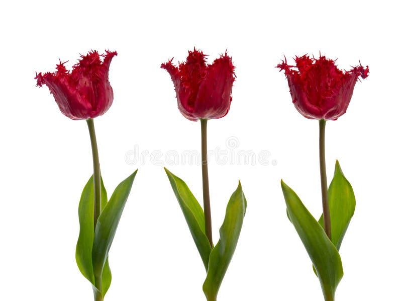 Tres tulipanes rojos imágenes de archivo libres de regalías