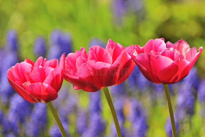 Tres tulipanes rojos fotografía de archivo libre de regalías