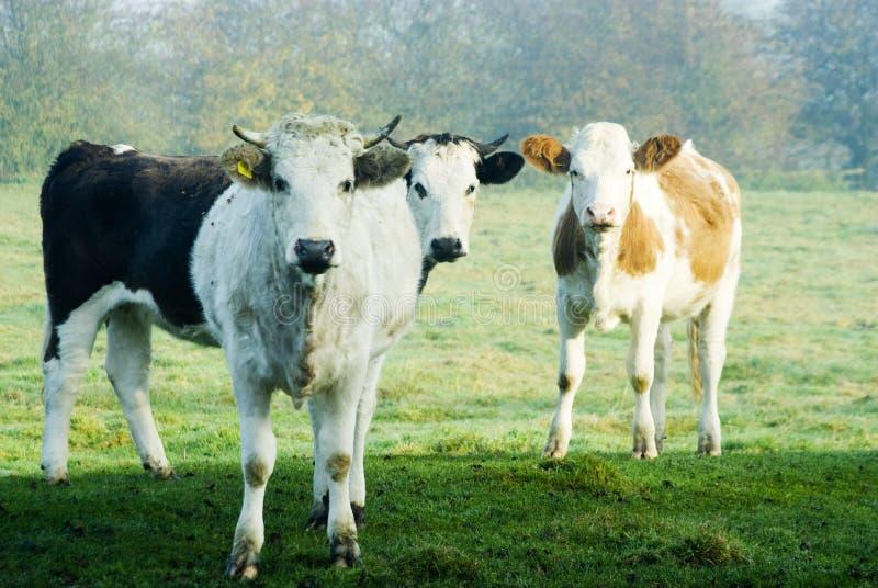 Tres vacas foto de archivo libre de regalías